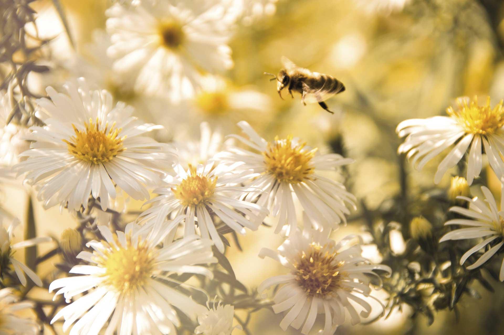 Das Bild zeigt eine fleißige Biene die auf einer Blumenwiese ihrer Arbeit nachgeht.